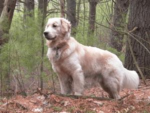 ゴールデン・レトリバー|当たる無料犬占い