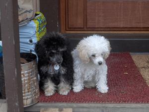 プードル|当たる無料犬占い