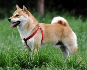 柴犬|当たる無料犬占い