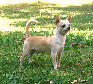 チワワ|当たる無料犬占い