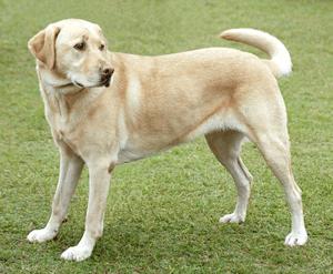 ラブラドール・レトリバー|当たる無料犬占い