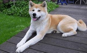 秋田犬|当たる無料犬占い