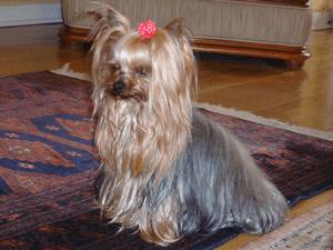 ヨークシャー・テリア|当たる無料犬占い