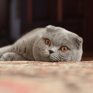 スコティッシュフォールド|当たる無料猫占い