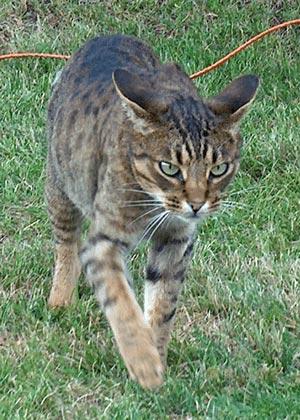 オシキャット|当たる無料猫占い