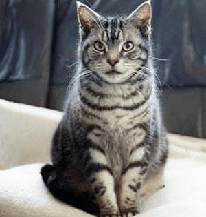 アメリカンショートヘア|当たる無料猫占い