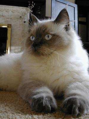 ラグドール 当たる無料猫占い