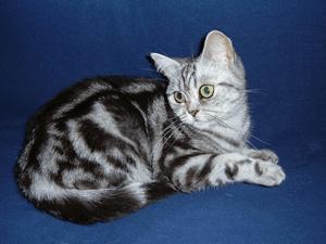 ブリティッシュショートヘア 当たる無料猫占い