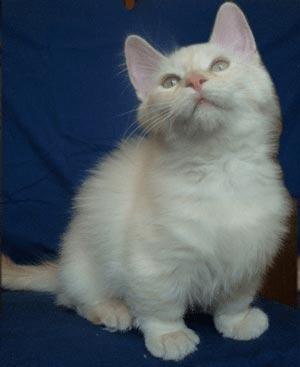 マンチカン|当たる無料猫占い