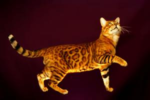 ベンガル|当たる無料猫占い