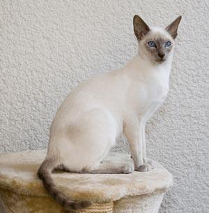 シャム|当たる無料猫占い